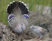Crested Pigeon (Ocyphaps lophotes) ©WikiC