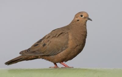Eared Dove (Zenaida auriculata) by Robert Scanlon