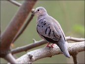 Ecuadorian Ground-Dove (Columbina buckleyi) by Ian