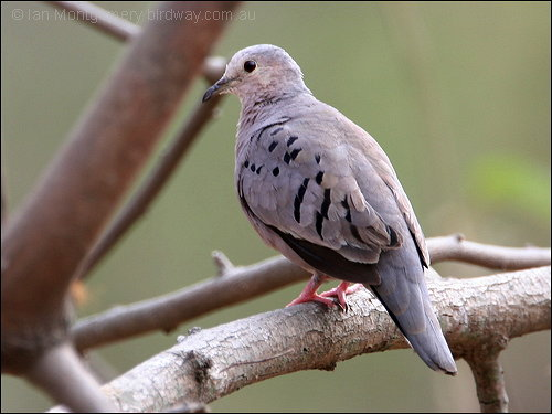 Ecuadorian Ground-Dove (Columbina buckleyi) by Ian