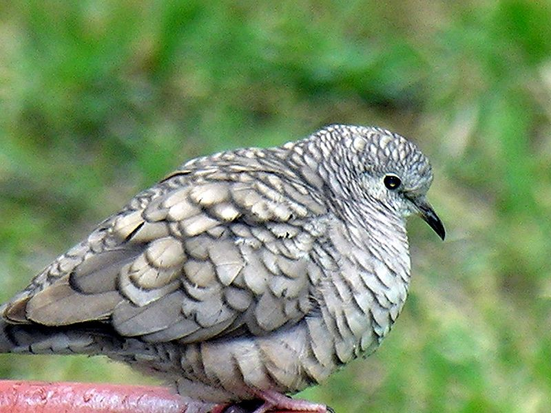 Inca Dove (Columbina inca) ©WikiC