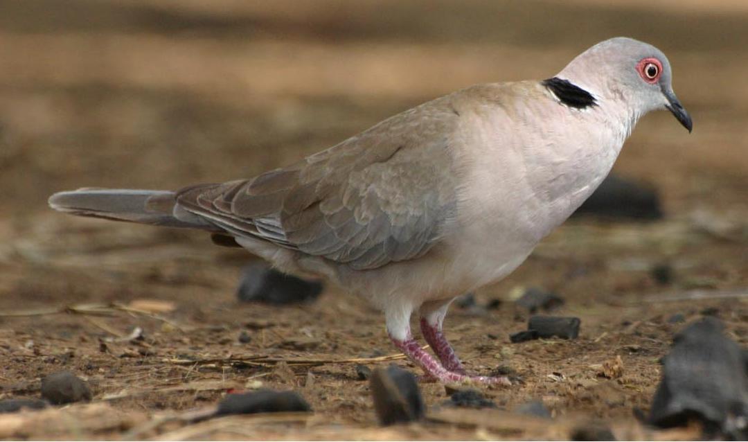 Mourning Collared Dove (Streptopelia decipiens) ©WikiC