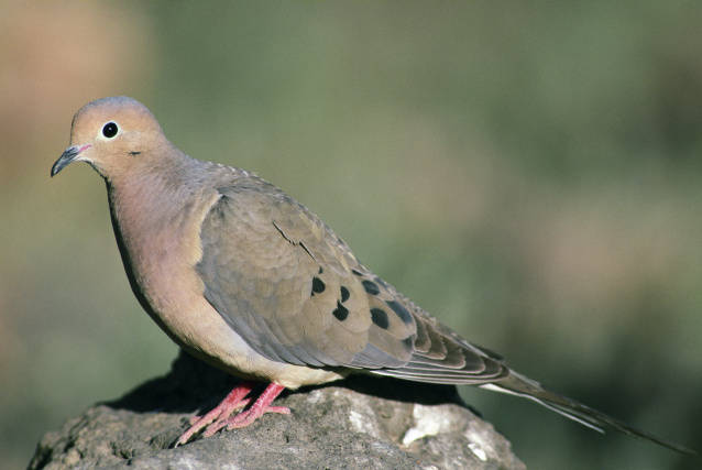 Mourning Dove (Zenaida macroura) ©USFWS
