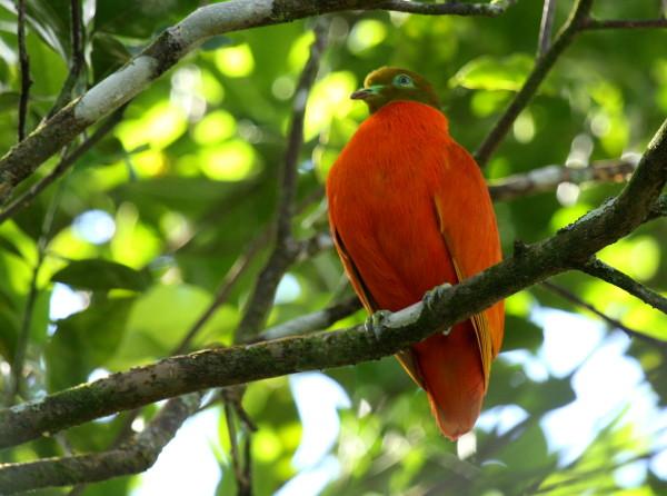 Orange Fruit Dove (Ptilinopus victor victor) by Tom Tarrant