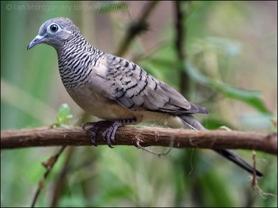 Peaceful Dove (Geopelia striata) by Ian
