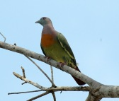 Pink-necked Green Pigeon (Treron vernans) by MAMuin