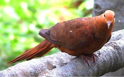 Ruddy Cuckoo-Dove (Macropygia emiliana) ©WikiC
