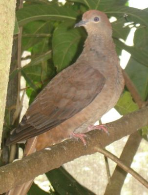 Slender-billed Cuckoo-Dove now the Amboyna Cuckoo-Dove (Macropygia amboinensis) ©WikiC