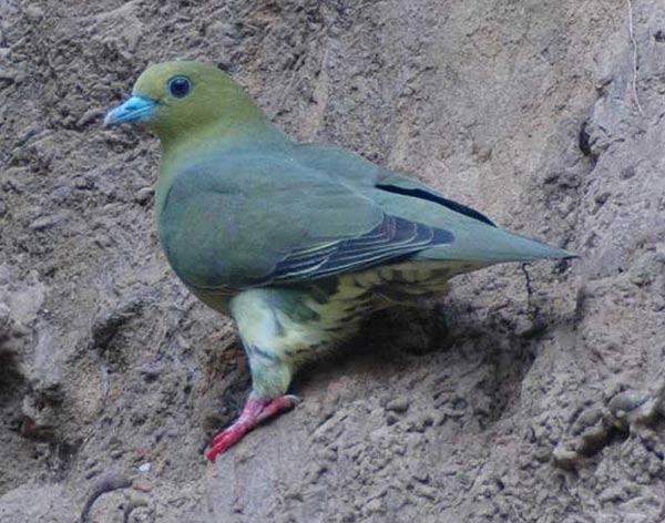 Wedge-tailed Green Pigeon (Treron sphenurus) by Nikhil Devasar