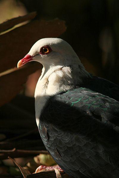 White-headed Pigeon (Columba leucomela) ©WikiC