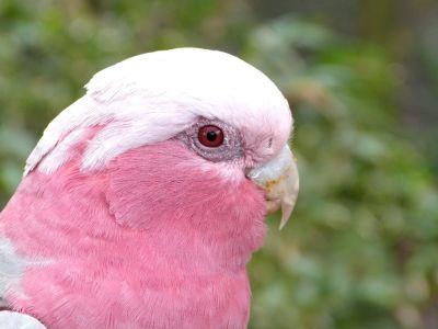 Galah (Eolophus roseicapilla) Cockatoo - Brevard Zoo