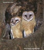 Western Barn Owl (Tyto alba) by SSlayton
