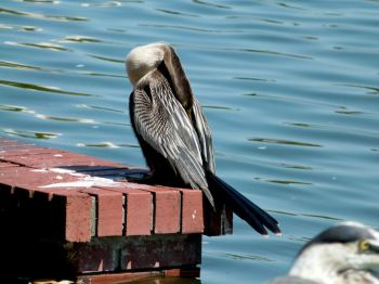 Anhinga Female resting - Lake Morton 6-28-12 by Lee