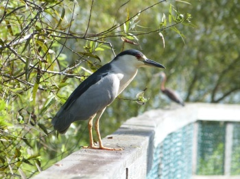 Black-Crowned Night Heron at S Lk Howard