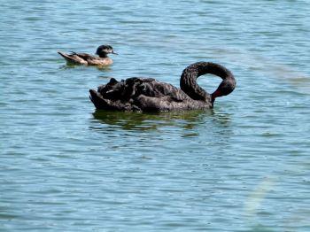 Black Swan and Wood Duck female - Lake Morton 6-28-12 by Lee
