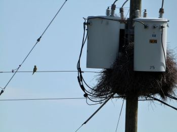 Monk Parakeet and Nest