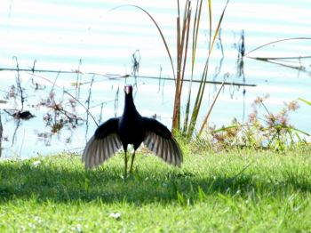 Purple Gallinule Displaying at Lake Parker