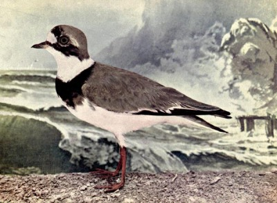 Ring Plover - Birds Illustrated by Color Photography, 1897