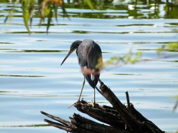 Tricolored Heron Looking at Lake Parker Park