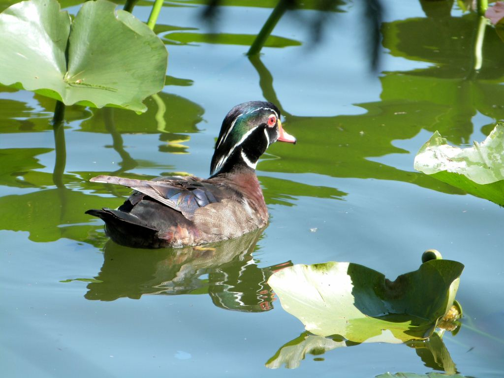 Wood Duck - Lake Morton by Lee