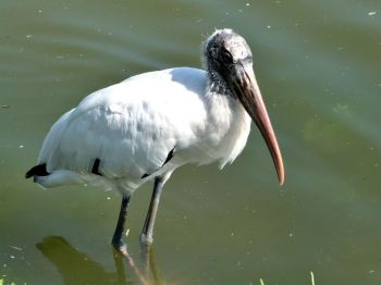 Wood Stork - Lake Morton 6-28-12 by Lee (105)