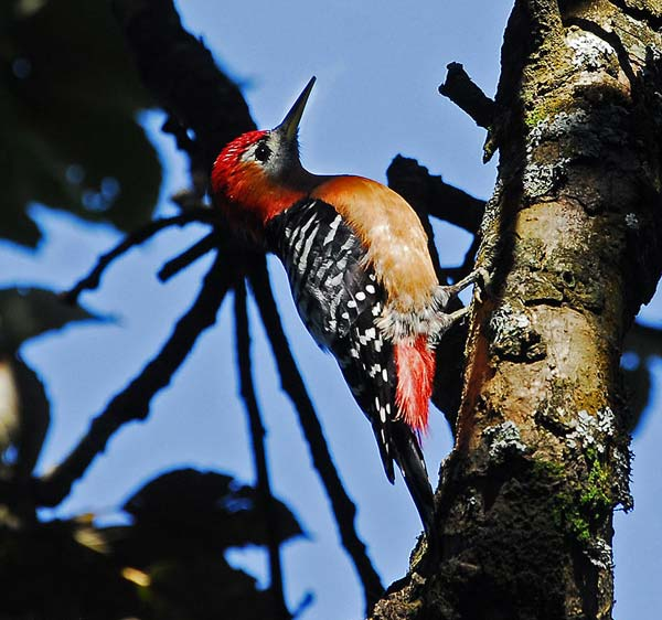 Rufous-bellied Woodpecker (Dendrocopos hyperythrus) by Nikhil Devassar