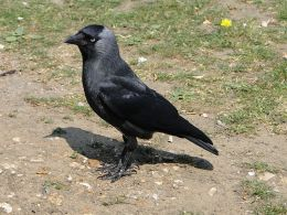 A Diet of Jackdaws and Ravens