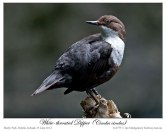 White-throated Dipper (Cinclus cinclus) by Ian 1