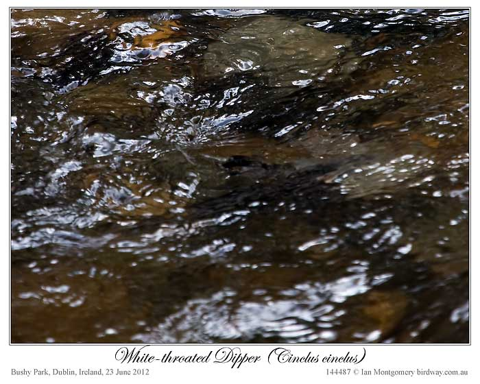White-throated Dipper (Cinclus cinclus) by Ian 4