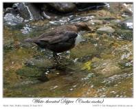 White-throated Dipper (Cinclus cinclus) by Ian 5