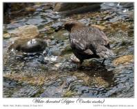 White-throated Dipper (Cinclus cinclus) by Ian 6