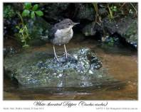 White-throated Dipper (Cinclus cinclus) by Ian 7