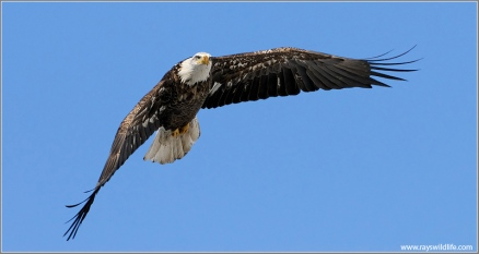 Bald Eagle (Haliaeetus leucocephalus) by Ray