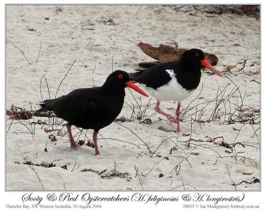 Sooty Oystercatcher (H fuliginosus) and Pied (H longirostris) by Ian 5