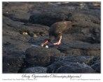 Sooty Oystercatcher (Haematopus fuliginosus fuliginosus) by Ian 3