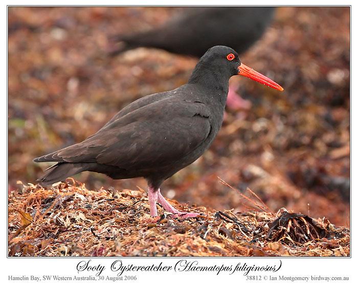 Sooty Oystercatcher (Haematopus fuliginosus fuliginosus) by Ian 4