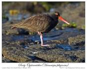Sooty Oystercatcher (Haematopus fuliginosus opthalmicus) by Ian 2