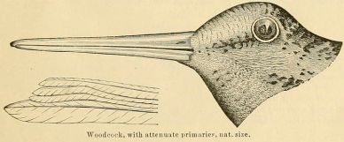 American Woodcock (Scolopax minor) 1891 ©WikiC