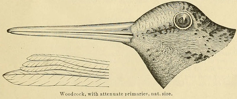 American Woodcock (Scolopax minor) 1891 ©WikiC