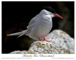Antarctic Tern (Sterna vittata) by Ian (1)