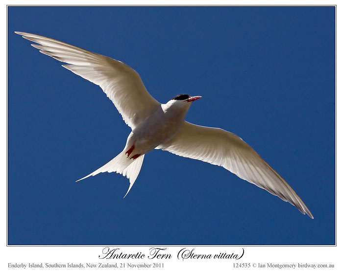 Antarctic Tern (Sterna vittata) by Ian (2)