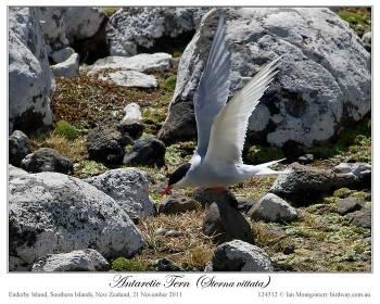 Antarctic Tern (Sterna vittata) by Ian (3)