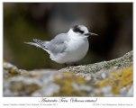 Antarctic Tern (Sterna vittata) by Ian (4)