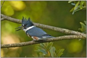 Belted Kingfisher (Megaceryle alcyon) by Daves BirdingPix