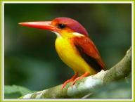 Oriental Dwarf-Kingfisher (Ceyx erithaca) by Khong Tuck Khoon