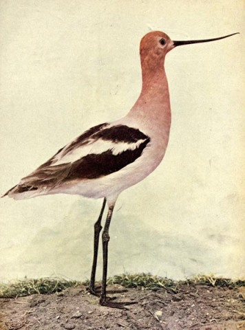American Avocet - Birds Illustrated by Color Photography, 1897