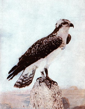 The American Osprey for Birds Illustrated by Color Photography, 1897 From col. F. M. Woodruff