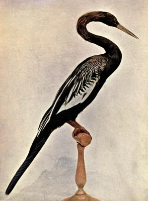 THE ANHINGA OR SNAKE BIRD
