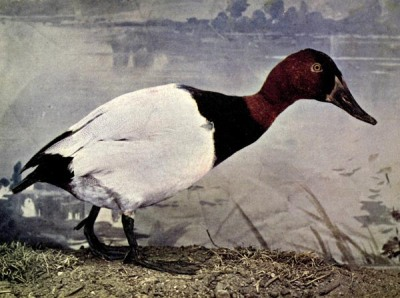 The Canvasback Duck, Birds Illustrated by Color Photography, 1897