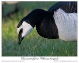 Barnacle Goose (Branta leucopsis) by Ian 1